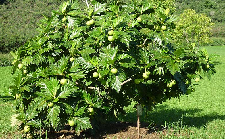 <p>A SINGLE BREADFRUIT TREE CAN FEED A FAMILY OF 4 FOR OVER 50 YEARS.</p>